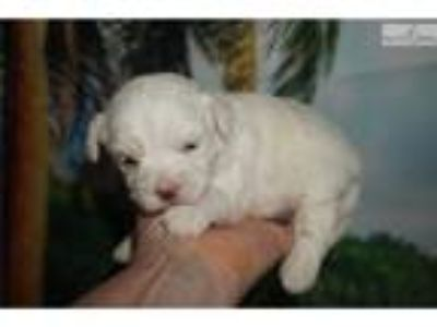 Lacey Lovable Female CKC Maltipoo Puppy!