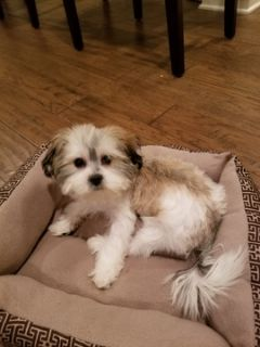 Mal-Shi-Maltese Mix PUPPY FOR SALE ADN-108255 - Mal Shi