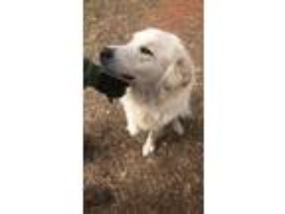 Adopt Harley a White Great Pyrenees / Collie dog in White Settlement