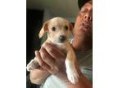 Adopt Lucy a Tan/Yellow/Fawn - with White Terrier (Unknown Type