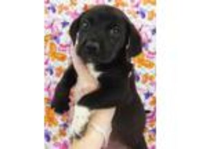 Adopt Neal a Beagle