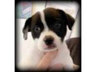 Adopt Baby Border Collies - Beatrice a Border Collie, Australian Shepherd