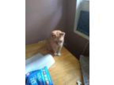 Adopt Peaches a Orange or Red Tabby American Shorthair / Mixed cat in