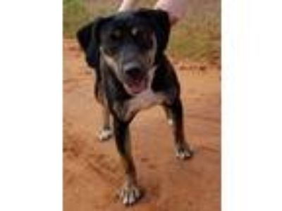 Adopt Sage a Black - with Tan, Yellow or Fawn Rottweiler / Border Collie / Mixed