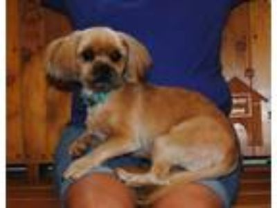 Adopt Rocky a Tan/Yellow/Fawn - with White Shih Tzu / Pomeranian / Mixed dog in