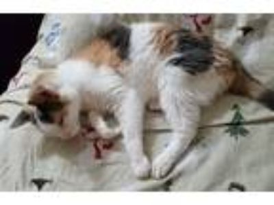 Adopt Cherry a Calico or Dilute Calico Domestic Shorthair (short coat) cat in