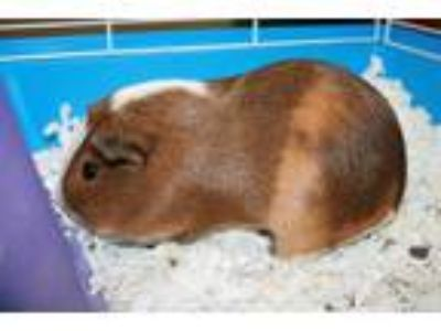 Adopt ANNA a Brown or Chocolate Guinea Pig / Mixed small animal in Modesto
