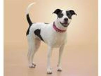 Adopt SALLY a Black - with White American Pit Bull Terrier / Mixed dog in Vero