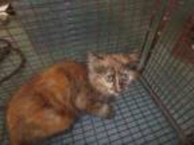 Adopt WHOOPI a Domestic Short Hair