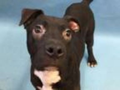 Adopt Zelda a Black Labrador Retriever / Mixed dog in St. Paul, MN (25516078)