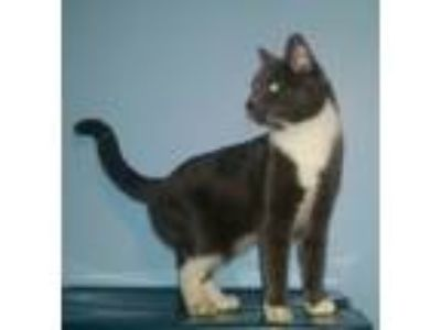Adopt Jackie a Gray or Blue (Mostly) Domestic Shorthair (short coat) cat in