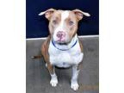 Adopt R230930 / Bodhi a Pit Bull Terrier