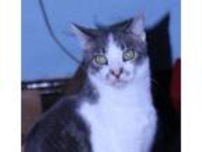 Adopt Schmutz a American Shorthair