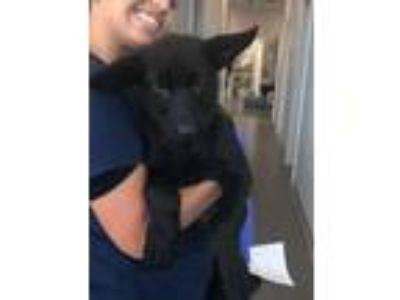 Adopt Ghost a German Shepherd Dog, Belgian Shepherd / Malinois