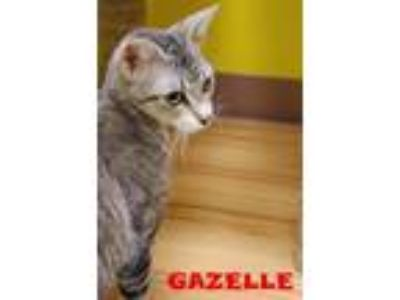 Adopt Gazelle a Domestic Short Hair