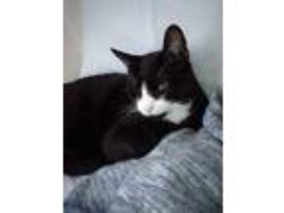 Adopt Calvin a Black & White or Tuxedo Domestic Shorthair cat in Camas
