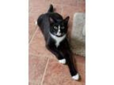 Adopt Mollie a Domestic Short Hair, Tuxedo