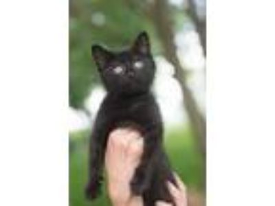 Adopt Milan a All Black Domestic Shorthair (medium coat) cat in Martensdale
