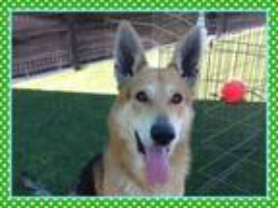 Adopt HYDE a German Shepherd Dog