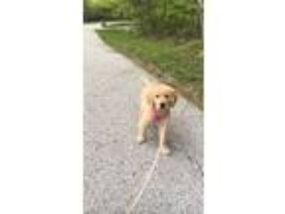 Adopt Biscuit a Tan/Yellow/Fawn - with White Golden Retriever dog in Saint