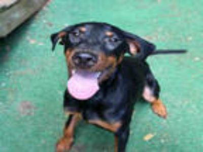 Adopt HOLY MOLEY a Black - with Tan, Yellow or Fawn Doberman Pinscher / Mixed