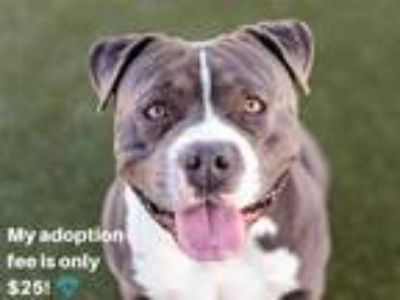 Adopt CHEX a Gray/Silver/Salt & Pepper - with White American Pit Bull Terrier /