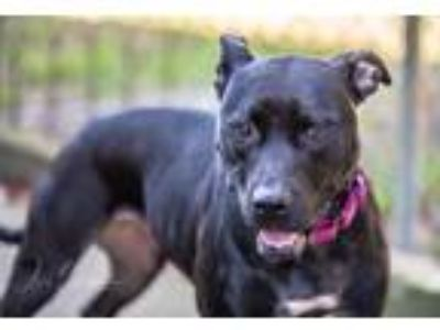 Adopt Pixie a Black Pit Bull Terrier / Mixed dog in Elkton, FL (17764136)