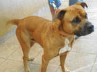 Adopt BENJAMIN a Red/Golden/Orange/Chestnut - with White Mastiff / Mixed dog in