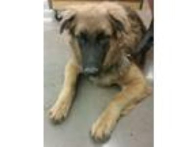 Adopt Nikko a German Shepherd Dog, Labrador Retriever