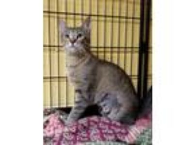 Adopt Annie and Kitten a Brown Tabby Domestic Shorthair / Mixed (short coat) cat