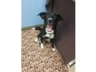 Adopt Ruger a Black Border Collie / Mixed dog in Lynnwood, WA (25326163)
