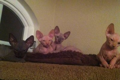 #sphynx#bambino #kittens#hairless#males#females#barebottomsphynx#9518050070