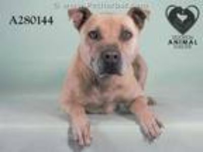 Adopt BURKE a Tan/Yellow/Fawn American Pit Bull Terrier / Mixed dog in STOCKTON