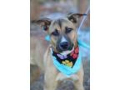 Adopt Brittney a Brown/Chocolate Retriever (Unknown Type) / Mixed dog in