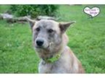 Adopt Cowboy a Tan/Yellow/Fawn - with Black Shepherd (Unknown Type) / Husky /