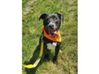 Adopt Percy a Labrador Retriever / American Pit Bull Terrier / Mixed dog in