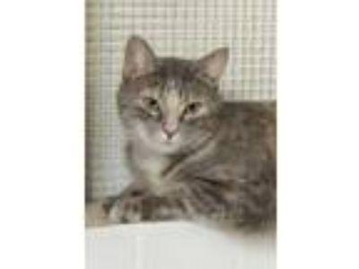 Adopt Lulu a Gray or Blue Domestic Mediumhair / Domestic Shorthair / Mixed cat