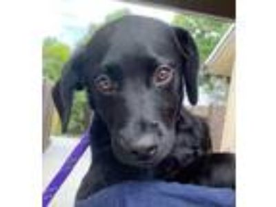Adopt Amos a Black Labrador Retriever / Mixed dog in Loxahatchee, FL (25643984)