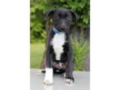 Adopt Alpha a Black - with White Labrador Retriever / Mixed dog in Waldorf