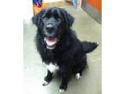 Adopt Oakley a Black Newfoundland / Mixed dog in Bend, OR (25924802)