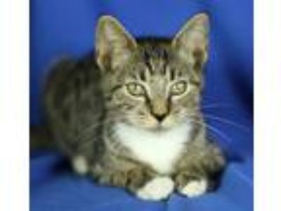 Adopt Harvey a Domestic Short Hair, Tabby