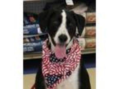 Adopt Tyson a Pointer, Great Dane
