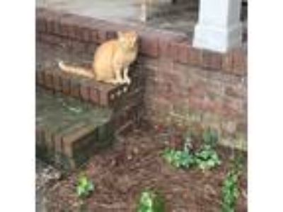 Adopt Buttercup a Orange or Red Tabby American Shorthair / Mixed cat in Macon