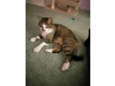 Adopt Bella and Captain Jack a Tan or Fawn Tabby Domestic Shorthair (short coat)