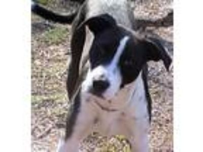 Adopt Petey Jr./Pup #11 a Black - with White Staffordshire Bull Terrier / Mixed