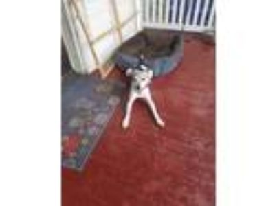 Adopt Gizmo (Courtesy Listing) a Rat Terrier