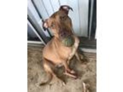 Adopt Stray 2 (becky) a Tan/Yellow/Fawn American Pit Bull Terrier / Mixed dog in