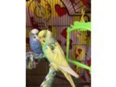 Adopt Mawali a Green Budgie / Mixed bird in Arlington, VA (25632911)