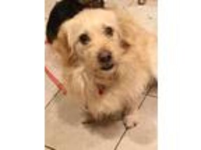 Adopt Ding a Tan/Yellow/Fawn Dachshund / Spaniel (Unknown Type) / Mixed dog in