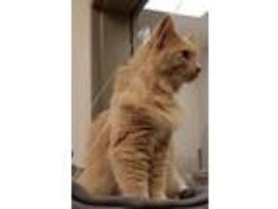 Adopt Lily a Domestic Long Hair